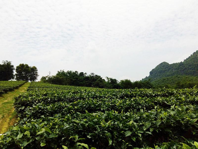 广东清远英德市积庆里红茶谷,红茶茶园